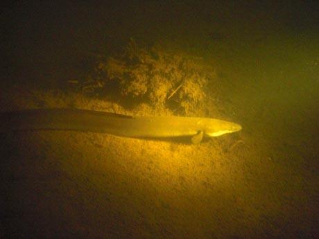 Schluchsee: Ein Aal. Er hat trotz Licht und der Anwesenheit von drei Tauchern lange genug stillgehalten, bis dieses Bild zustande kam.