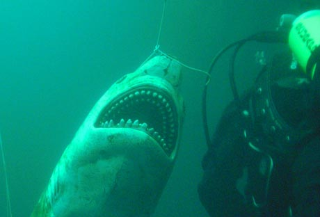 """Tauchsee Horka: Carcharodon Carcharias (der """"große weiße Hai"""")"""