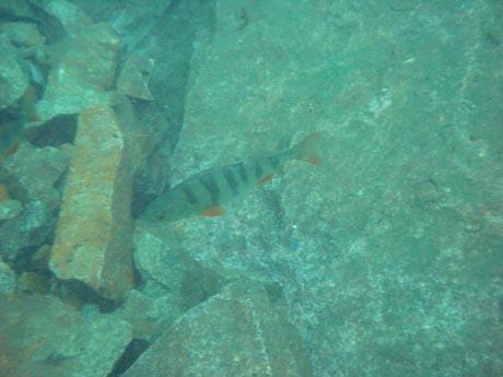 Tauchsee Horka: Ein Flussbarsch