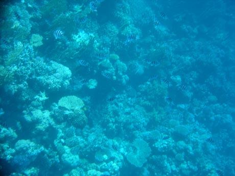 Zebrafische vor einem Korallenriff