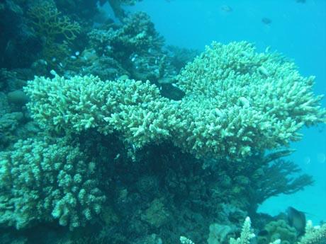 Gotta Abu Kalawa: Koralle