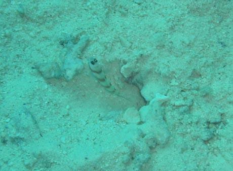 Ein Shrimp, der vor seiner Höhle sitzt